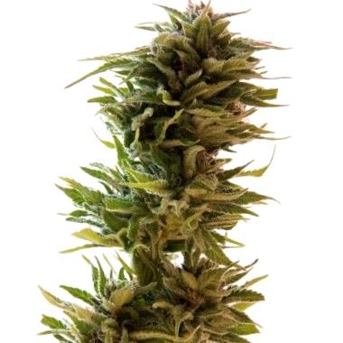 caracteristicas de la semilla kritikal bilbo cbd de genehtik seeds