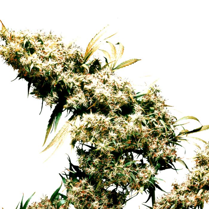 Catalogo completo de semillas de marihuana Kera Seeds