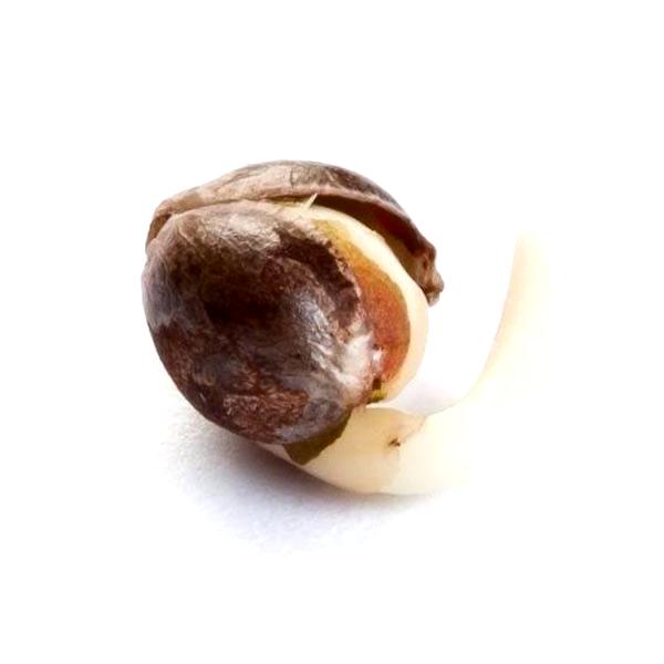 Catalogo completo de Medical Seeds feminizadas