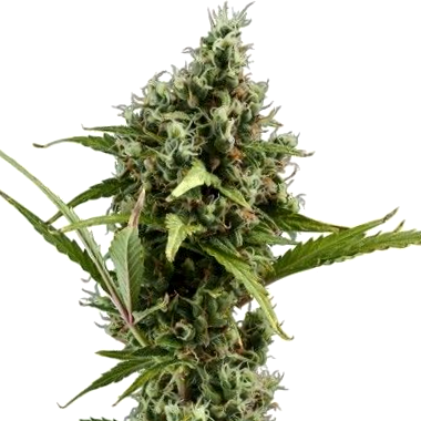 como son las semillas advanced seeds medicinales