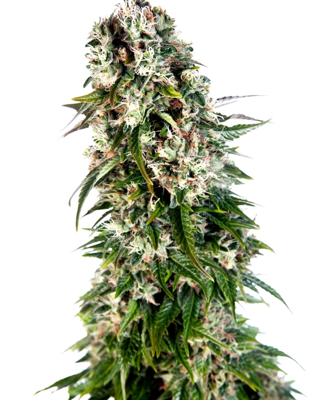 ¿Cómo son las semillas de marihuana Dutch Passion feminizadas?