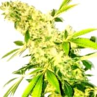 Descripción de las Ministry Of Cannabis feminizadas