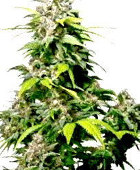 Comprar semillas feminizadas de Homegrown Fantaseeds