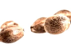 Comprar semillas Kera Seeds de tipo feminizadas