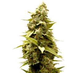 ¿Qué son las semillas de marihuana Psicodelicia?
