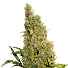 ¿Por que comprar la Semilla de Marihuana Dream Machine?