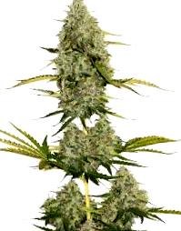 ¿Por que elegir la Semilla de Marihuana Dream Machine?