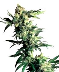 Cultivo para las s<span>emillas de cannabis Power Flower