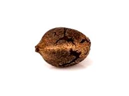 Características de las semillas decannabis Syrup