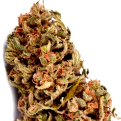 Semillas cannabicas Wild Rose