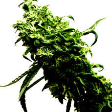 Comprar las semillas feminizadas Exclusive Seeds