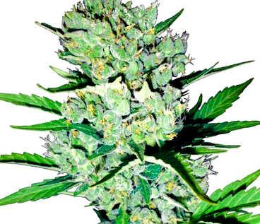 Comprar semillas de marihuana Pakistan Chitral Kush