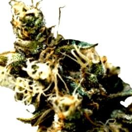 ¿Por qué elegir las semillas de marihuana French Touch Seeds feminizadas?