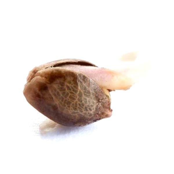 ¿Por qué son asi las semillas BCN Seed feminizadas?