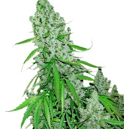 ¿Cómo son las semillas de cannabis Pakistan Chitral Kush?