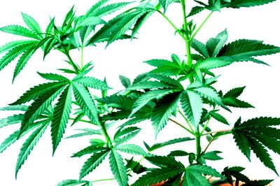 ¿Qué son las semillas de marihuana feminizadas de Exclusive Seeds?