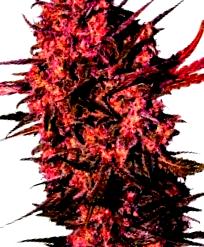 ¿Como son las semillas decannabis Red Dwarf Auto?