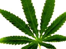 ¿Qué son las semillas de marihuana Lowryder 2 Auto?