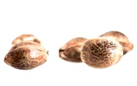 Comprar semillas decannabis Shark Attack