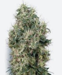 Compra online de semillas de cannabis Lowryder 2 Auto