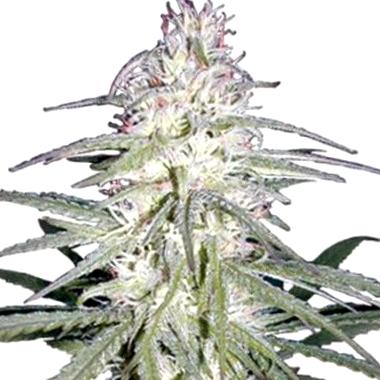 Auto Haze XXL: las mejores plantas terapéuticas