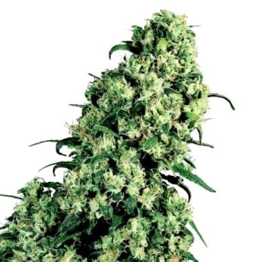Comprar semillas Seedsman CBD