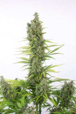 compra semillas cbd de medical seeds mas baratas