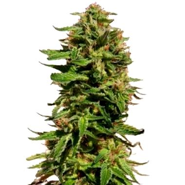 Compra semillas Pure Seeds CBD al mejor precio