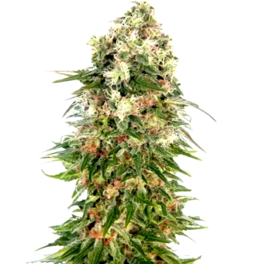 Comprar semillas de cannabis Tropical Seeds CBD