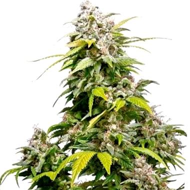 Comprar semillas de marihuana Bomb Seeds CBD
