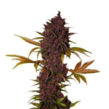 ¿Cuáles son las variedades disponibles de semillas de cannabis CBD de Reggae Seeds?