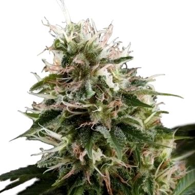 De dónde son las semillas medicinales CBD Pure Seeds