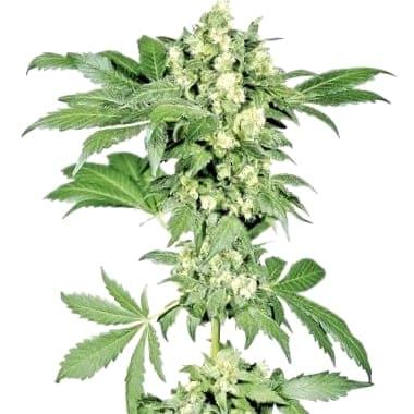 De dónde son las semillas CBD Medicinales Seedsman