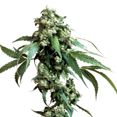 Descubre las mejores variedades CBD de Medical Marijuana Genetics