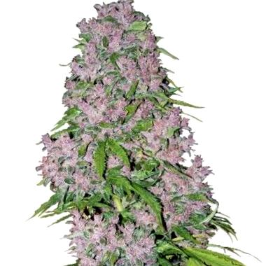 Descubre las propiedades terapéuticas de las semillas de cannabis CBD