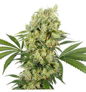 encuentra en nuestra web cualquier variedad de semilla de cannabis medical seeds