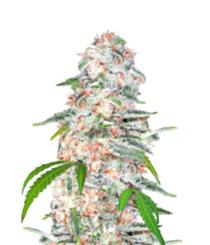 Cuáles son las mejores variedades de semillas de cannabis CBD de Royal Queen Seeds
