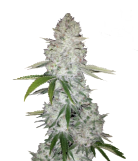 Las mejores variedades de semillas de cannabis CBD de Kannabia Seeds
