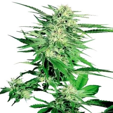 Semillas de marihuana Nirvana CBD