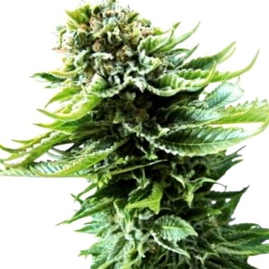 Opiniones de las semillas Seedsman CBD