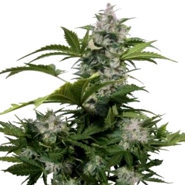 Por qué elegir las semillas de cannabis ricas en CBD de la marca Humboldt Seeds