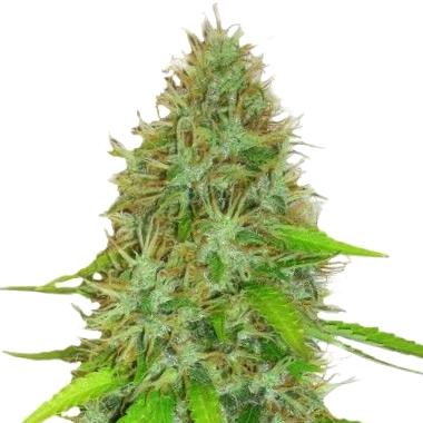 Por qué son así las semillas medicinales CBD Tropical Seeds