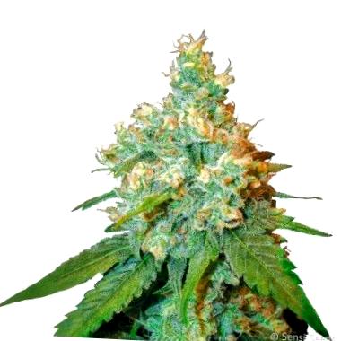 Qué son las semillas CBD medicinales Fastbuds Seeds