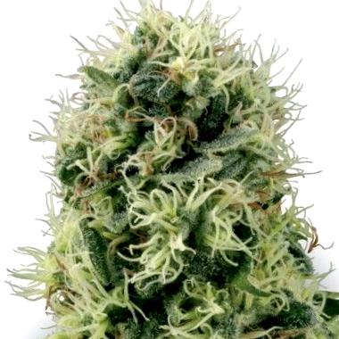 Qué son las semillas 00 Seeds Bank Cbd