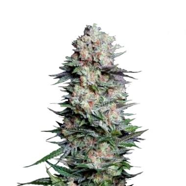 Qué son las semillas CBD medicinales Sweet Seeds