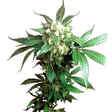 tus productos de calidad en la mejor web de venta de semillas buddha seeds cbd