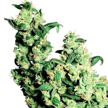 Qué variedad de semillas Ministry of Cannabis ricas en CBD elegir