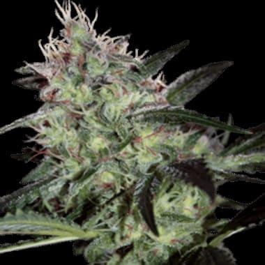 Qué variedades de semillas de cannabis CBD son las que tiene World of Seeds