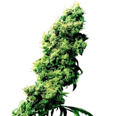 Venta de semillas medicinales con elevado porcentaje de CBD