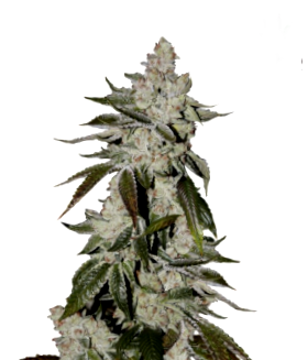 Ventajas de semillas medicinales CBD The Bulldog Seeds